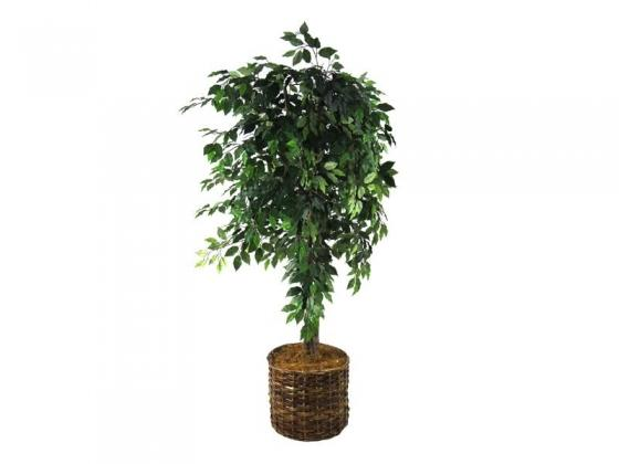 Ficus Tree in Rattan Basket main image