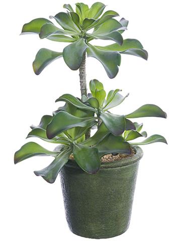 """15.5""""AEONIUM PLANT main image"""