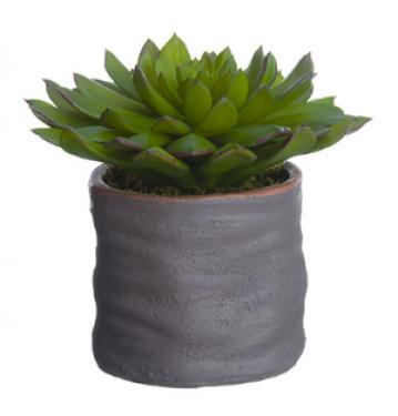 Echeveria in Cement Pot  Green Plum main image