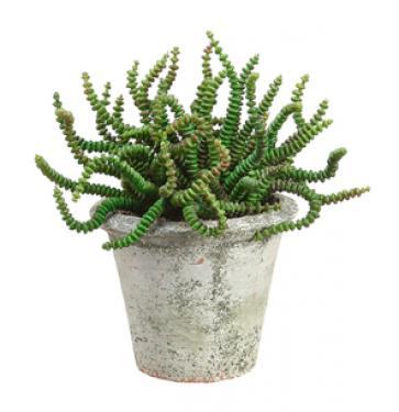 Worm Succulent main image