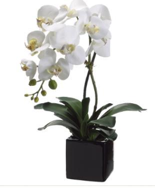 Phalaenopsis Orchid Plant main image