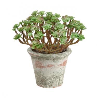 Sedum in Clay Pot  Green  main image