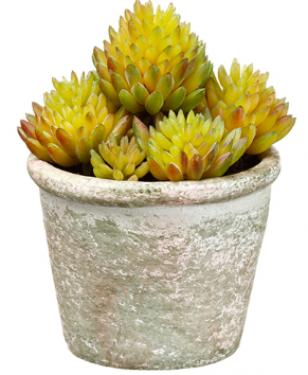 Sedum in Paper Mache Pot  Green main image