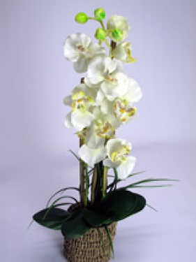 White Orchid in Grass Pot main image