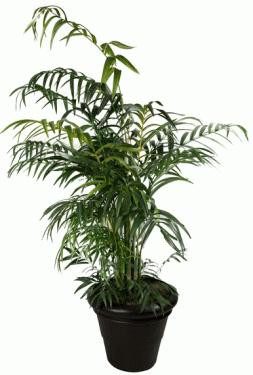 Giant Leafy Indoor Plant main image