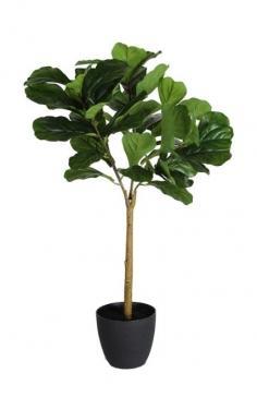 Fig Leaf in Black Pot main image