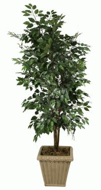Potted Ficus Tree  main image
