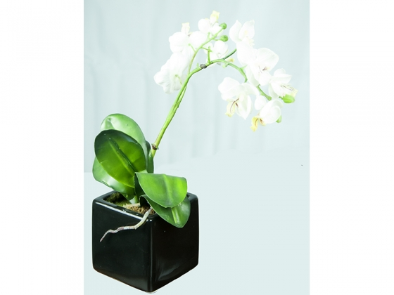 Pale Yellow Orchids in Black Pot main image